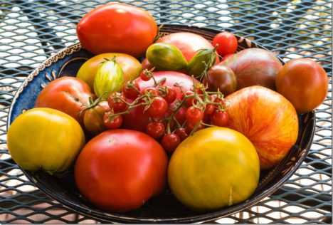 A bumper crop of tomatoes
